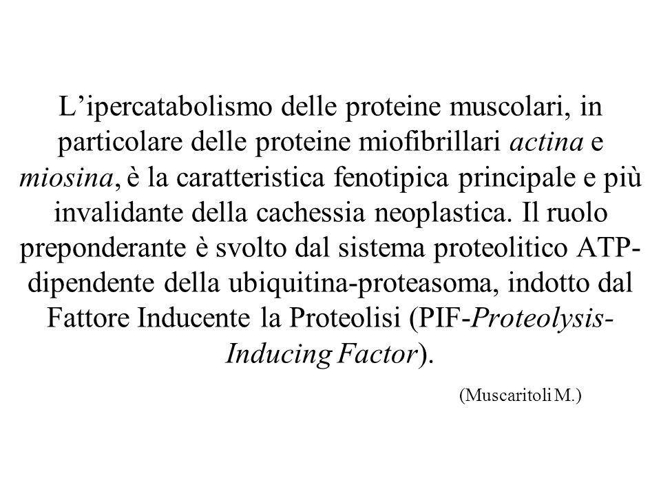 L'ipercatabolismo delle proteine muscolari, in particolare delle proteine miofibrillari actina e miosina, è la caratteristica fenotipica principale e più invalidante della cachessia neoplastica.