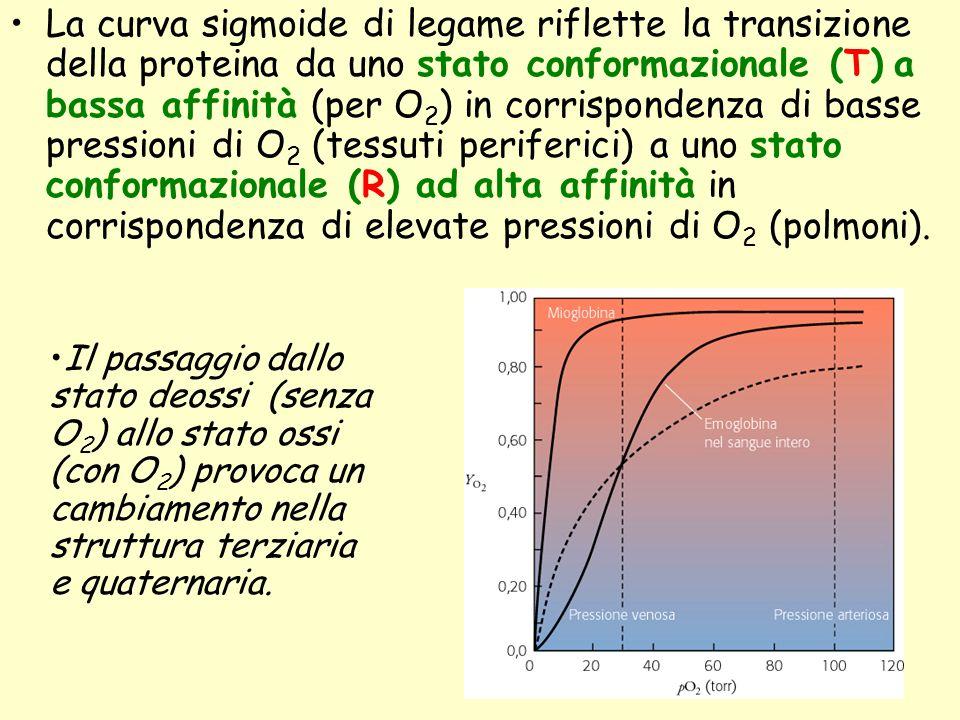 La curva sigmoide di legame riflette la transizione della proteina da uno stato conformazionale (T) a bassa affinità (per O2) in corrispondenza di basse pressioni di O2 (tessuti periferici) a uno stato conformazionale (R) ad alta affinità in corrispondenza di elevate pressioni di O2 (polmoni).