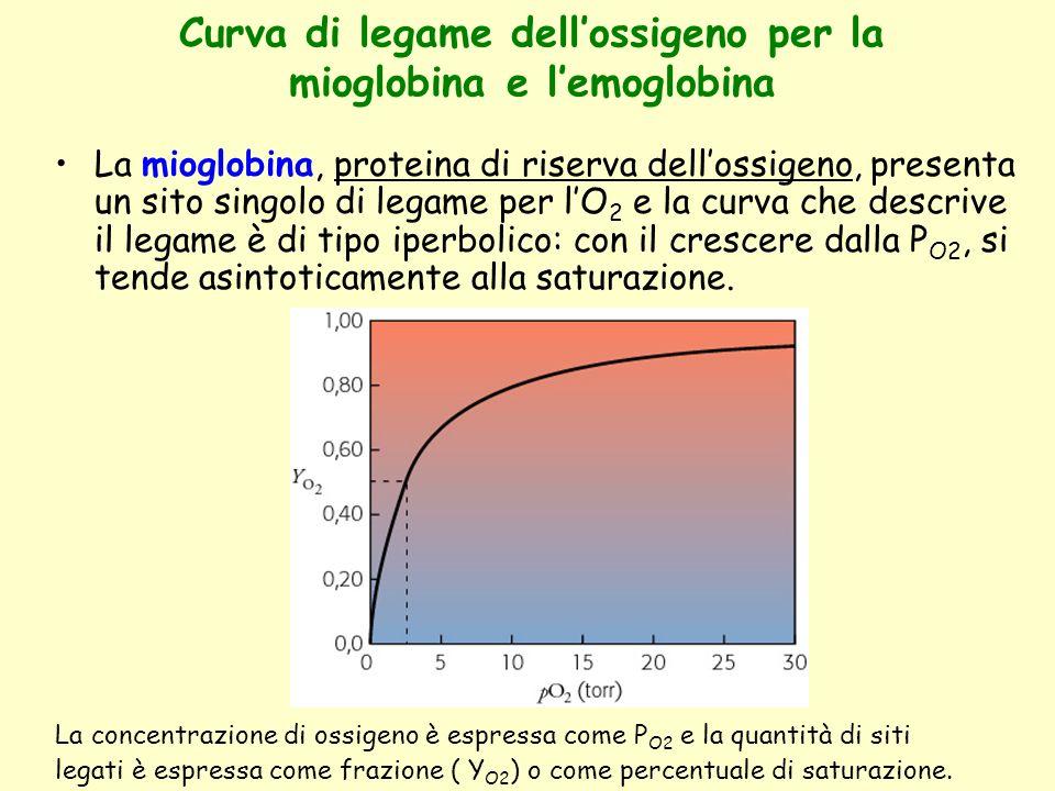 Curva di legame dell'ossigeno per la mioglobina e l'emoglobina