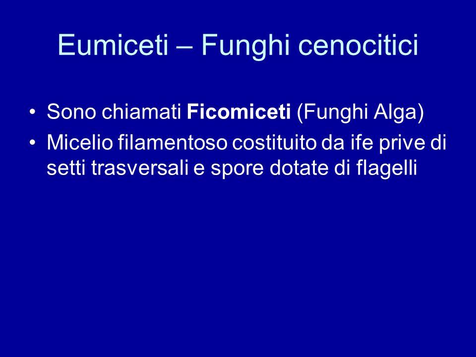 Eumiceti – Funghi cenocitici