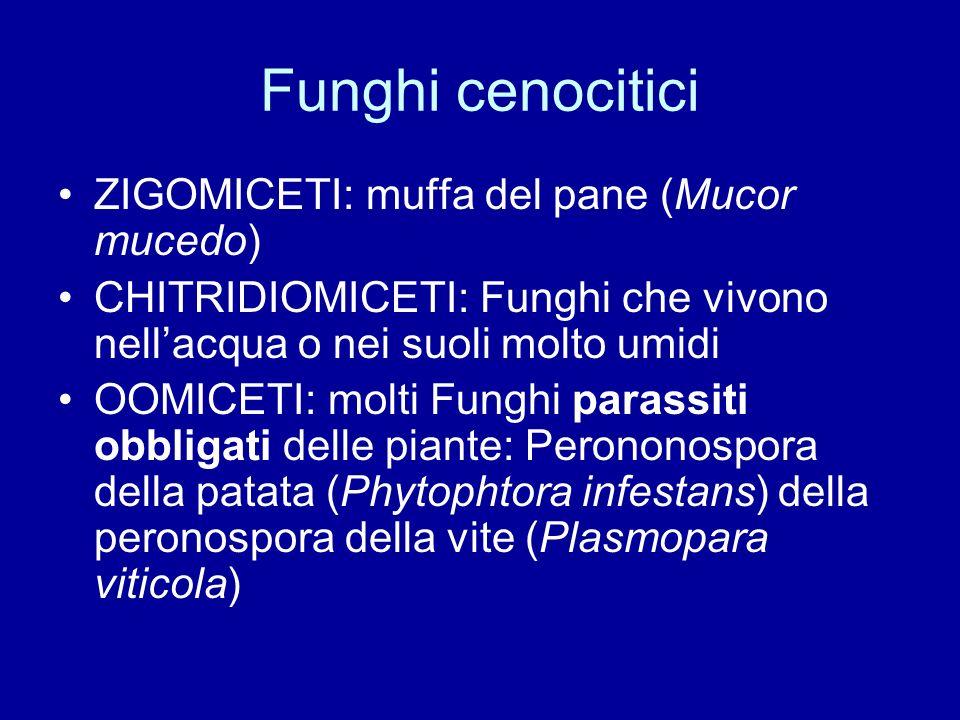 Funghi cenocitici ZIGOMICETI: muffa del pane (Mucor mucedo)