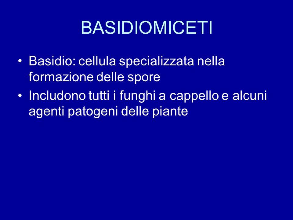 BASIDIOMICETI Basidio: cellula specializzata nella formazione delle spore.