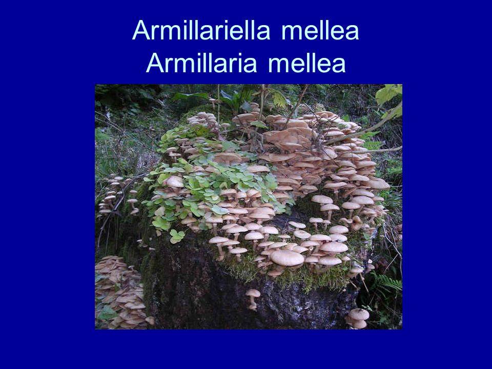 Armillariella mellea Armillaria mellea