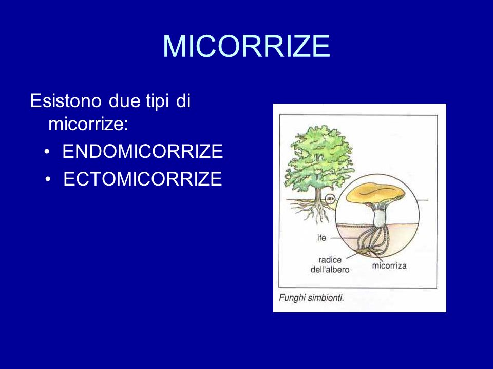 MICORRIZE Esistono due tipi di micorrize: ENDOMICORRIZE ECTOMICORRIZE