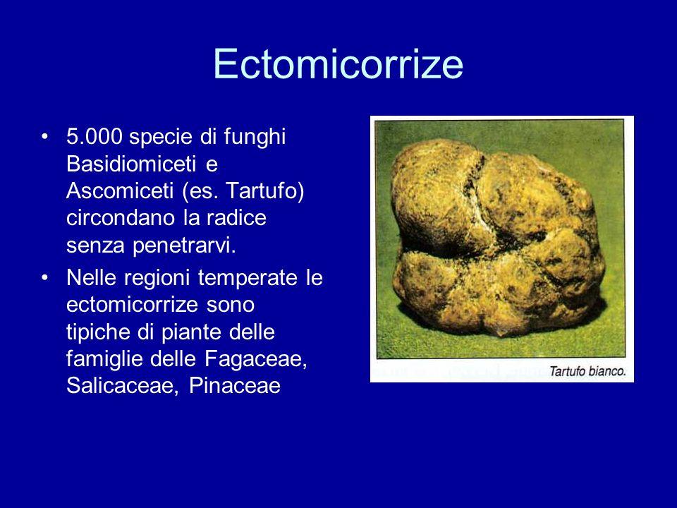 Ectomicorrize 5.000 specie di funghi Basidiomiceti e Ascomiceti (es. Tartufo) circondano la radice senza penetrarvi.