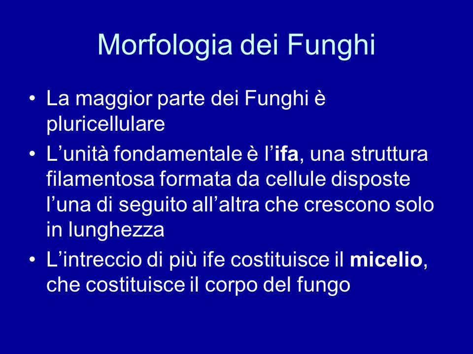 Morfologia dei Funghi La maggior parte dei Funghi è pluricellulare