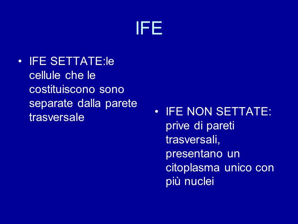 IFE IFE SETTATE:le cellule che le costituiscono sono separate dalla parete trasversale.