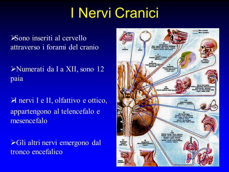 I Nervi Cranici Sono inseriti al cervello attraverso i forami del cranio. Numerati da I a XII, sono 12 paia.