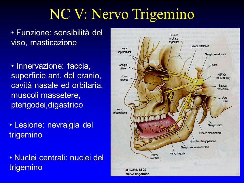 NC V: Nervo Trigemino Funzione: sensibilità del viso, masticazione