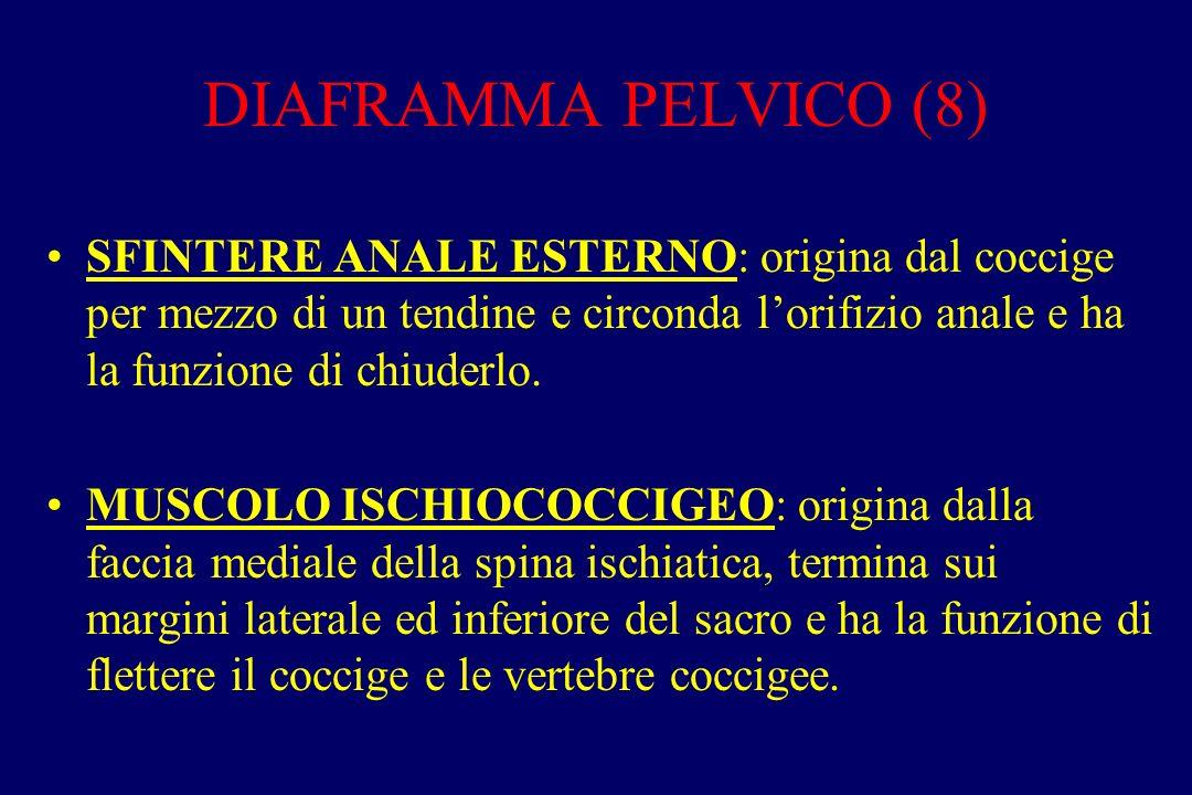 DIAFRAMMA PELVICO (8) SFINTERE ANALE ESTERNO: origina dal coccige per mezzo di un tendine e circonda l'orifizio anale e ha la funzione di chiuderlo.