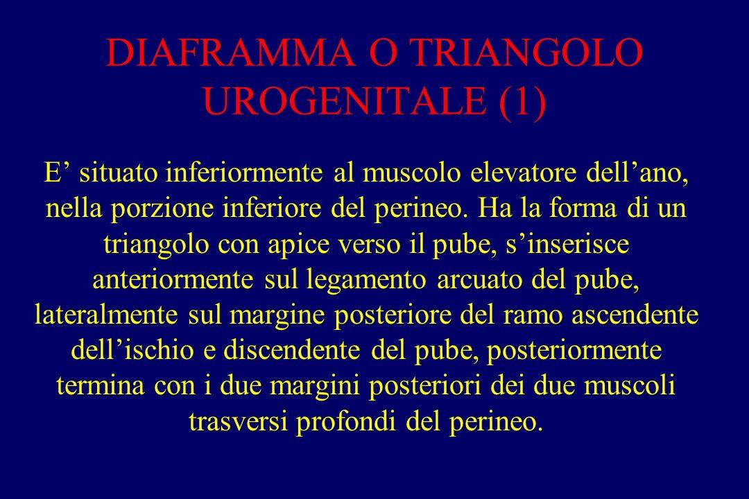 DIAFRAMMA O TRIANGOLO UROGENITALE (1)