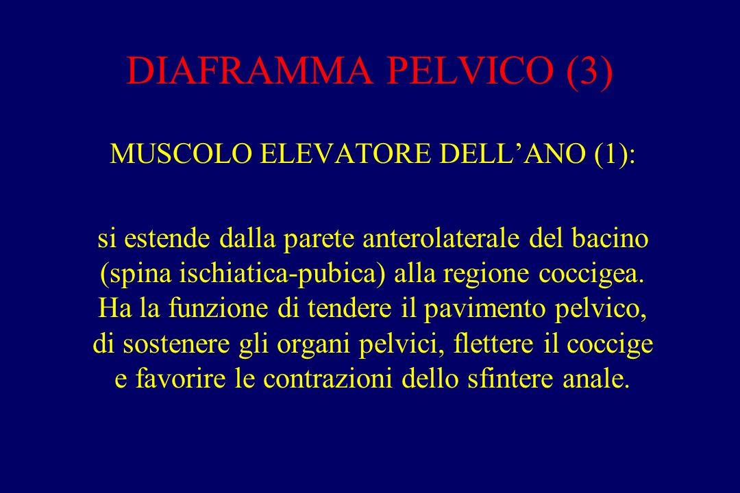 MUSCOLO ELEVATORE DELL'ANO (1):