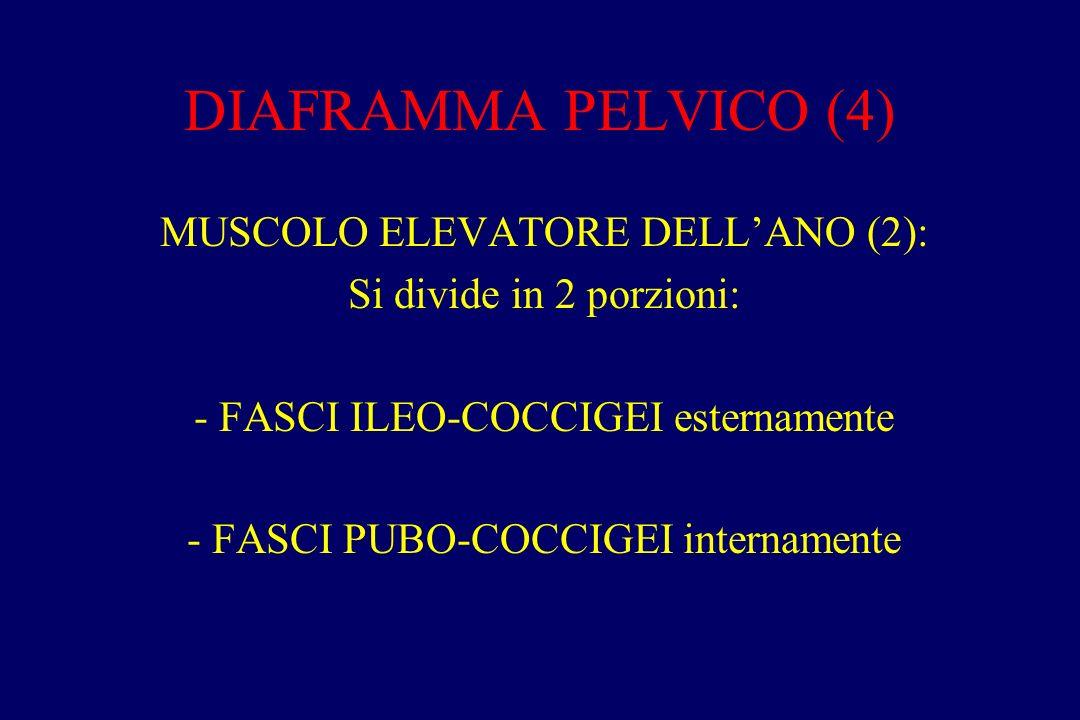 DIAFRAMMA PELVICO (4) MUSCOLO ELEVATORE DELL'ANO (2):