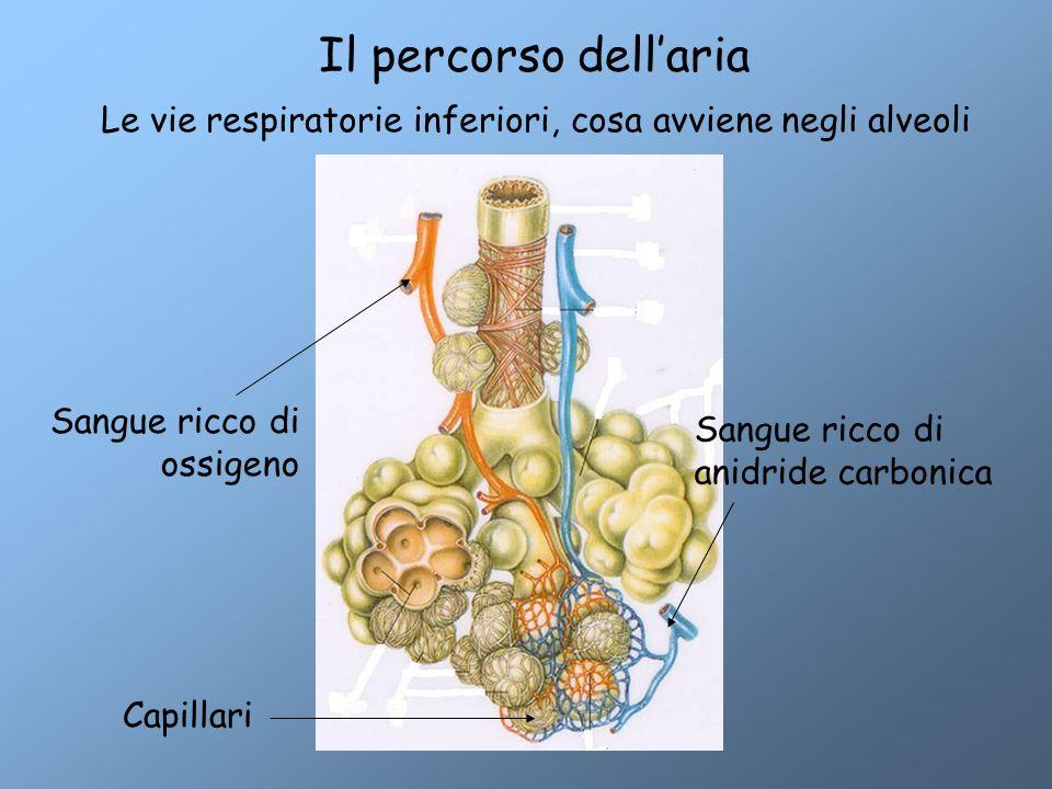 Le vie respiratorie inferiori, cosa avviene negli alveoli