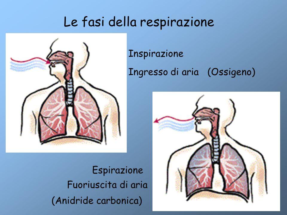 Le fasi della respirazione