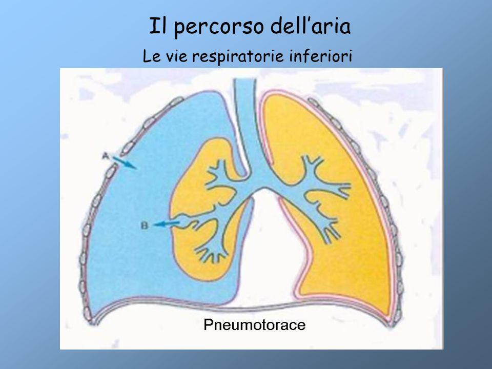 Le vie respiratorie inferiori