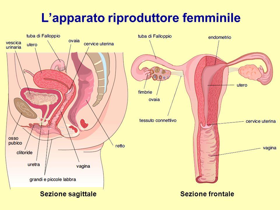 L'apparato riproduttore femminile