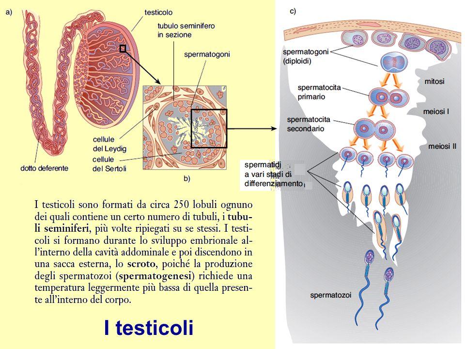 I testicoli