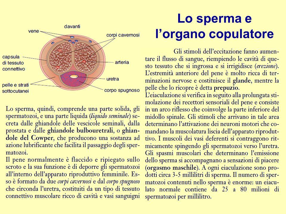 Lo sperma e l'organo copulatore
