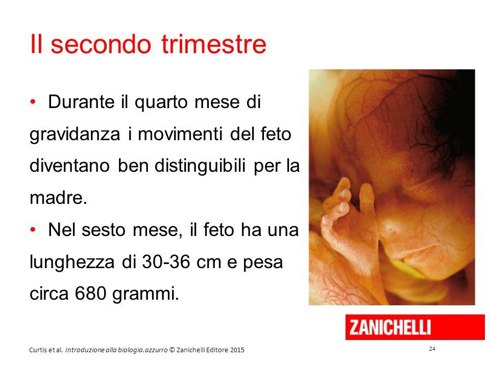 Il secondo trimestre Durante il quarto mese di gravidanza i movimenti del feto diventano ben distinguibili per la madre.