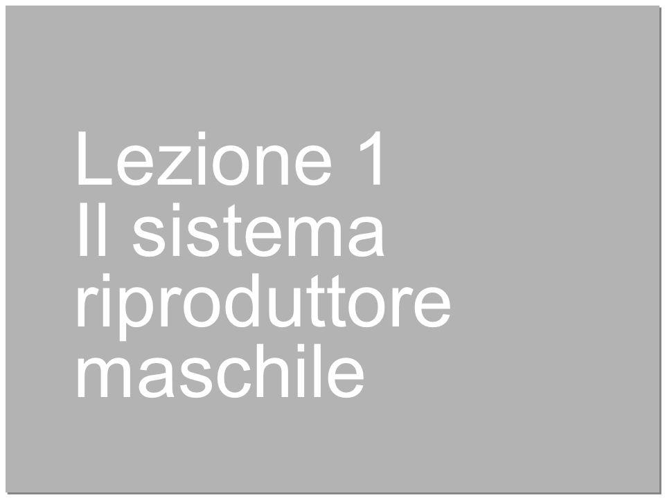 Lezione 1 Il sistema riproduttore maschile