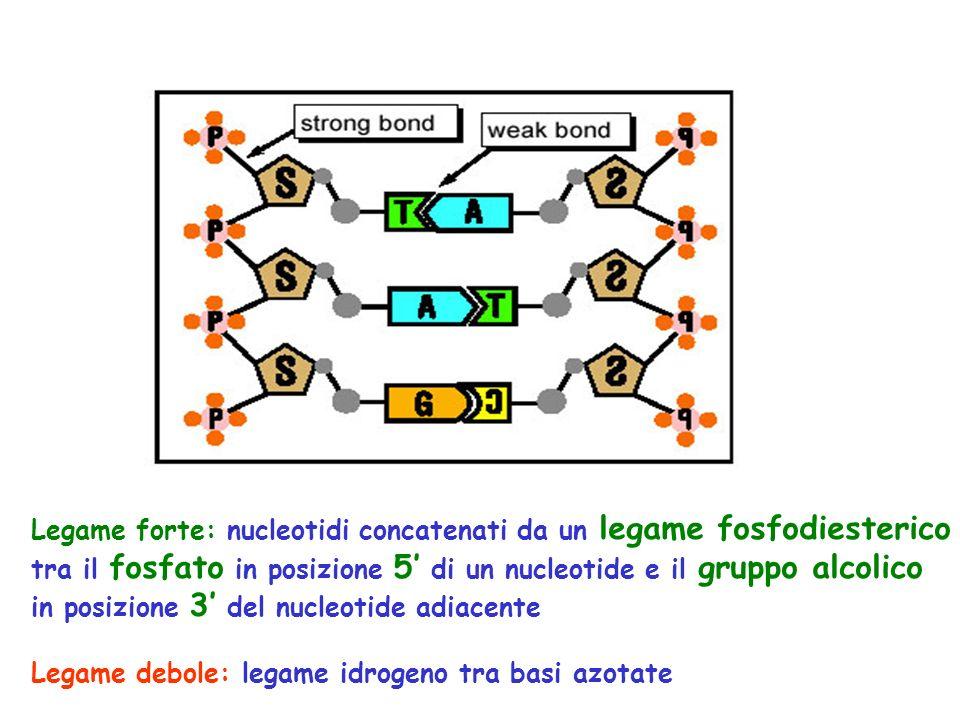 Legame forte: nucleotidi concatenati da un legame fosfodiesterico