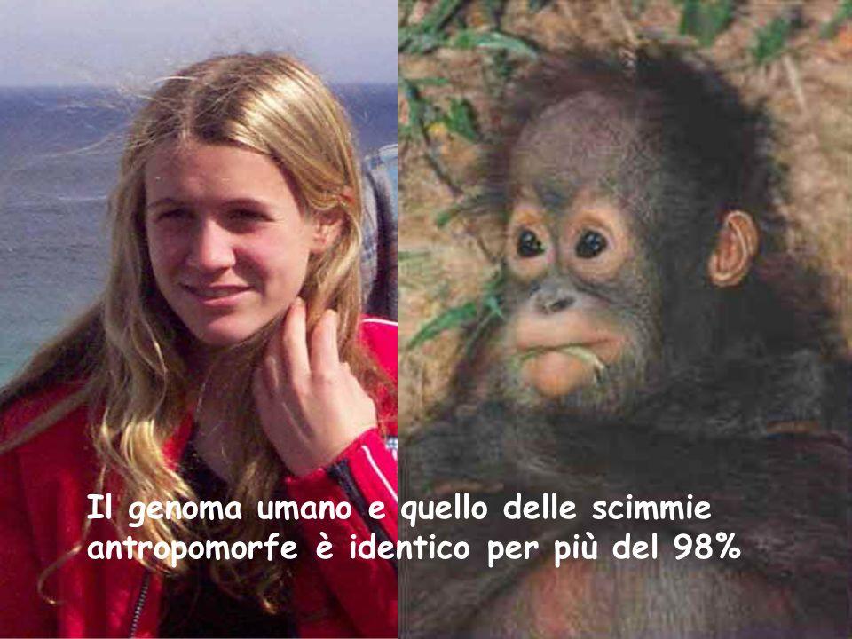 Il genoma umano e quello delle scimmie antropomorfe è identico per più del 98%