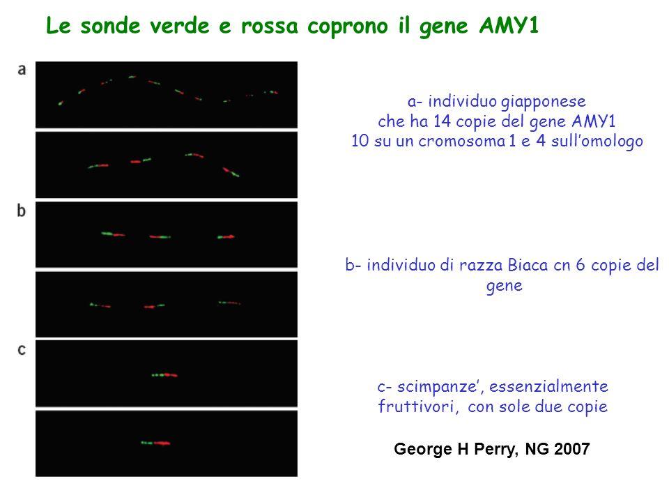 Le sonde verde e rossa coprono il gene AMY1