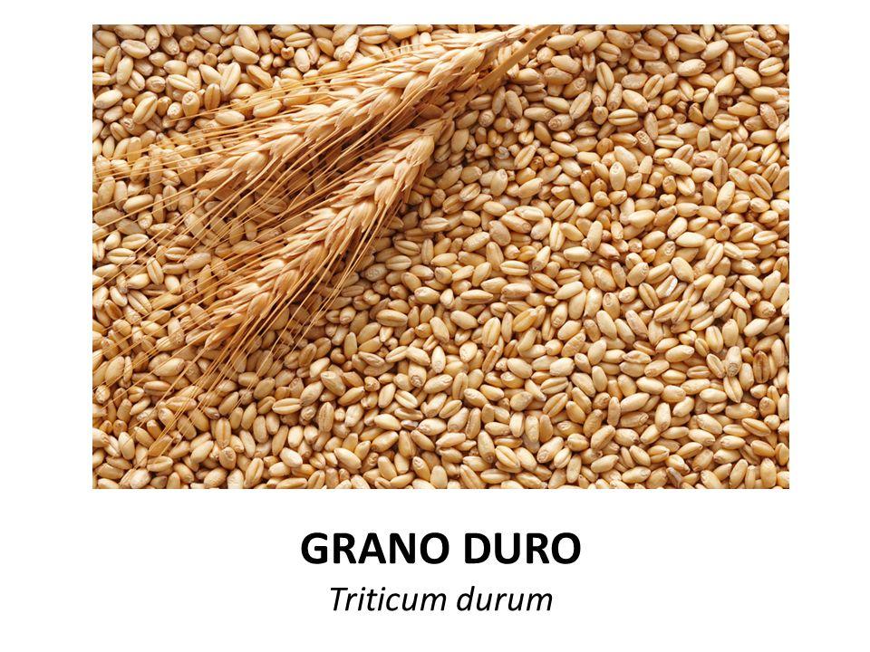 GRANO DURO Triticum durum