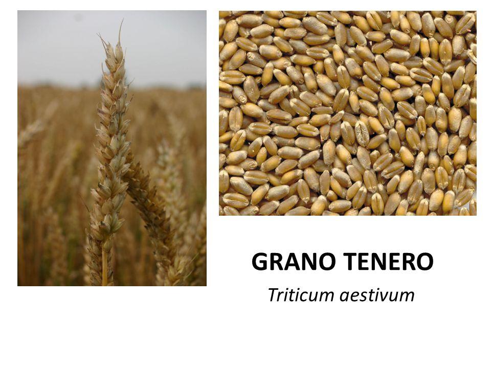 GRA GRANO TENERO Triticum aestivum