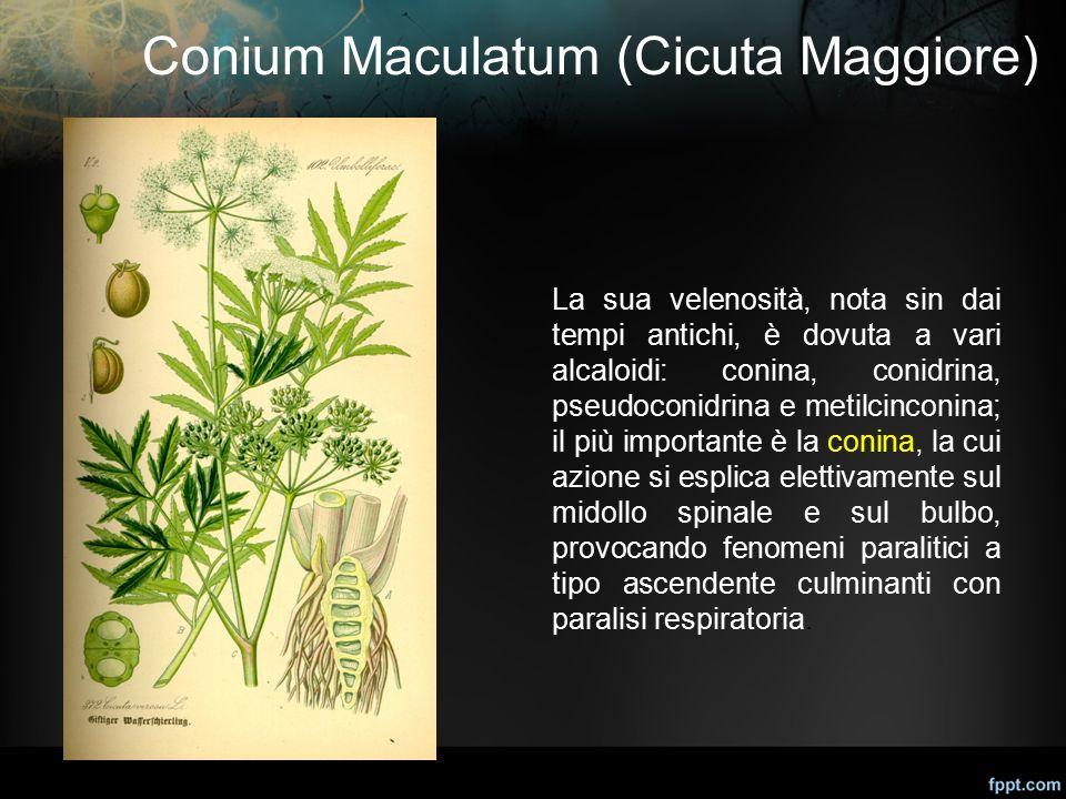 Conium Maculatum (Cicuta Maggiore)