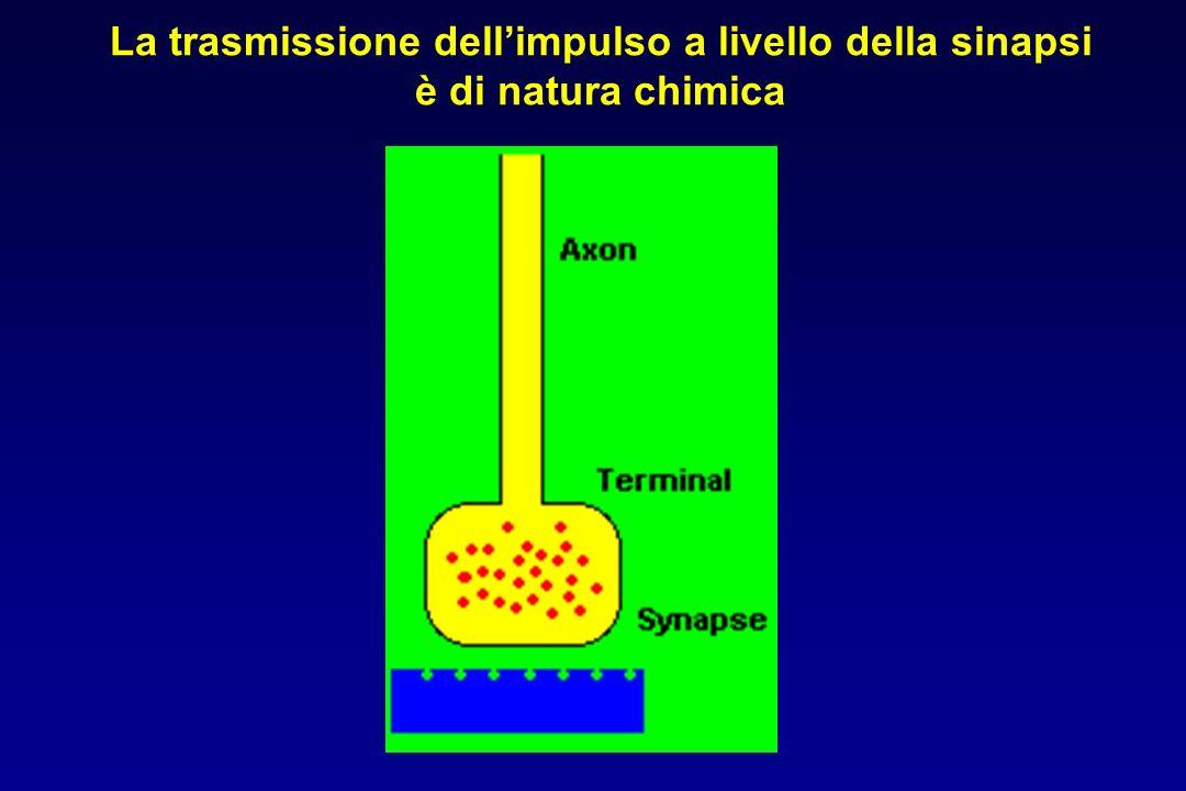 La trasmissione dell'impulso a livello della sinapsi è di natura chimica
