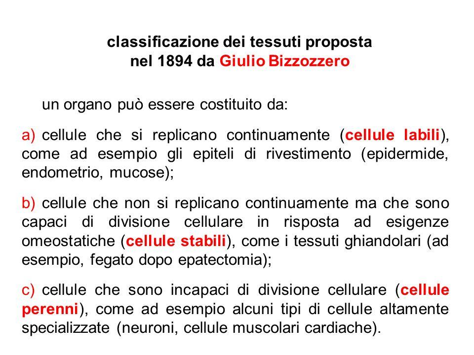 classificazione dei tessuti proposta nel 1894 da Giulio Bizzozzero