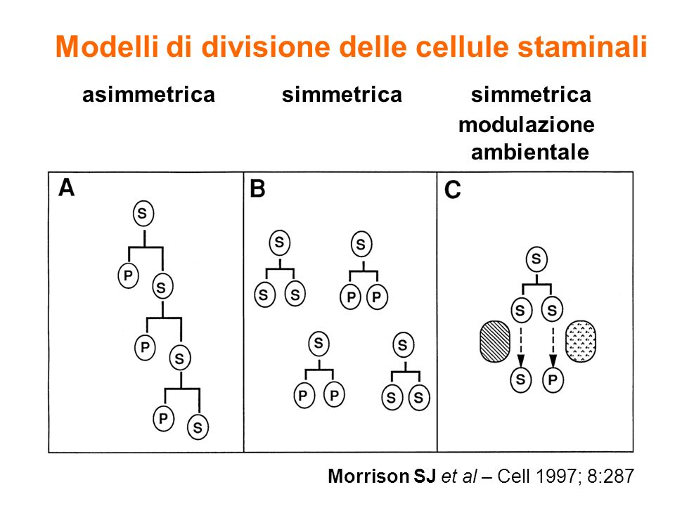 Modelli di divisione delle cellule staminali
