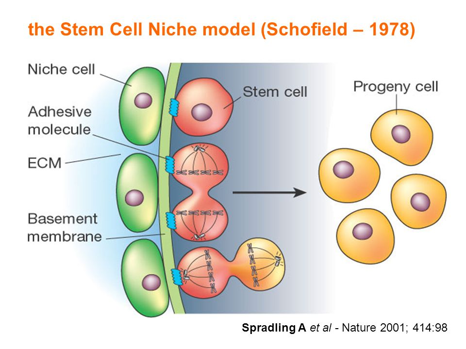 the Stem Cell Niche model (Schofield – 1978)