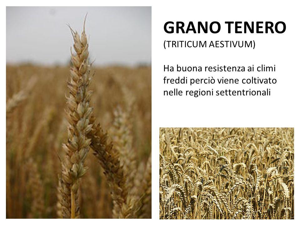 GRANO TENERO (TRITICUM AESTIVUM) Ha buona resistenza ai climi freddi perciò viene coltivato nelle regioni settentrionali