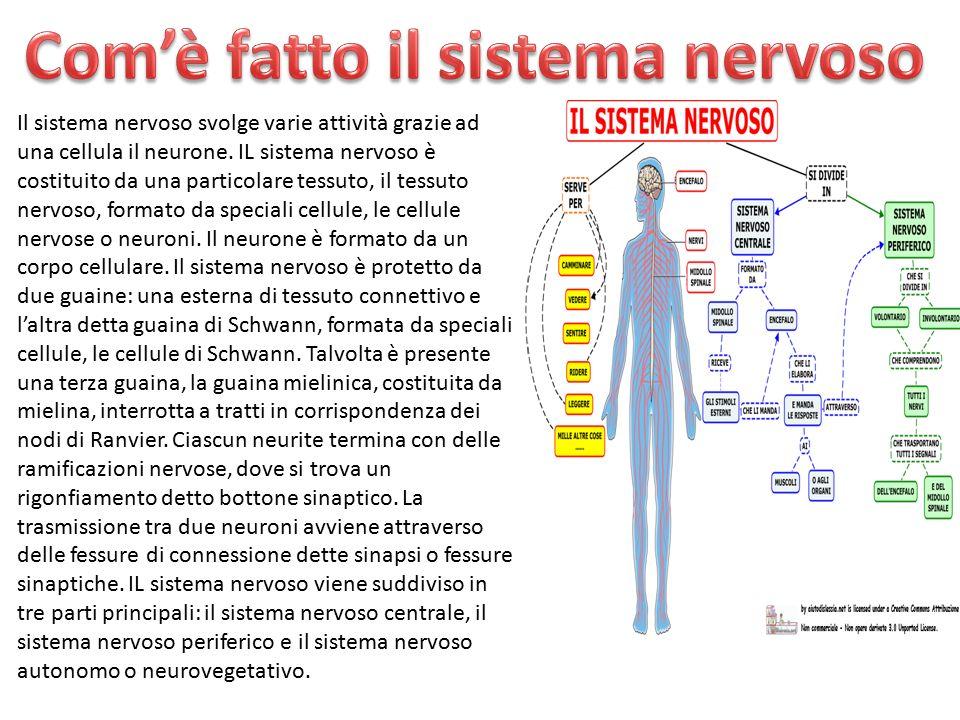Com'è fatto il sistema nervoso