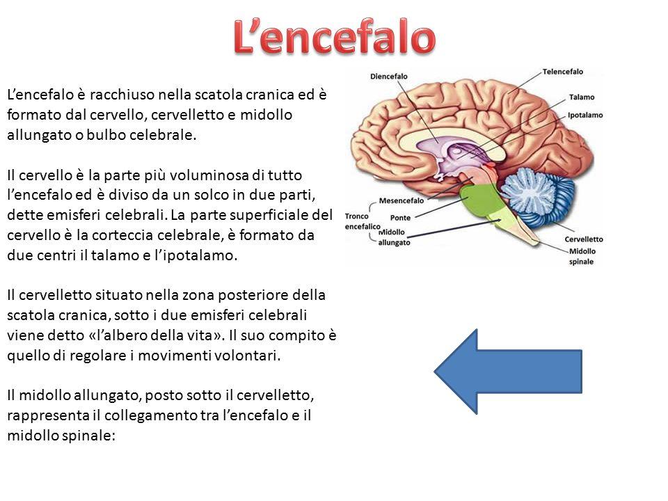 L'encefalo L'encefalo è racchiuso nella scatola cranica ed è formato dal cervello, cervelletto e midollo allungato o bulbo celebrale.
