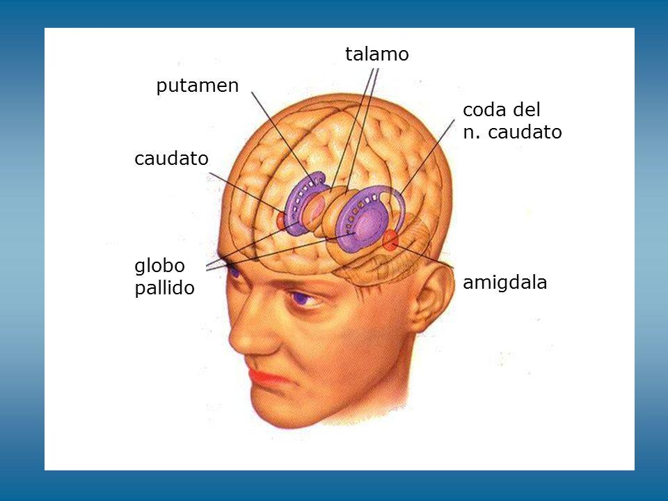 talamo putamen coda del n. caudato caudato globo pallido amigdala