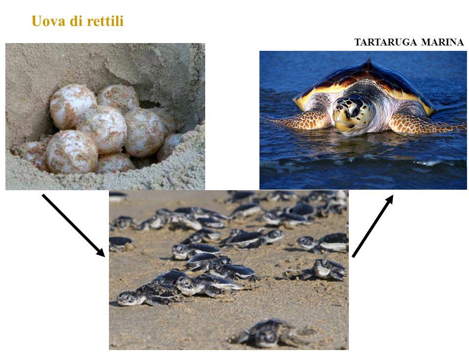 Uova di rettili TARTARUGA MARINA