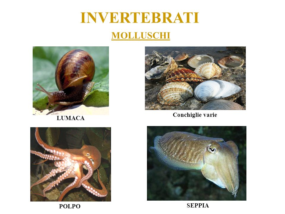 INVERTEBRATI MOLLUSCHI Conchiglie varie LUMACA POLPO SEPPIA