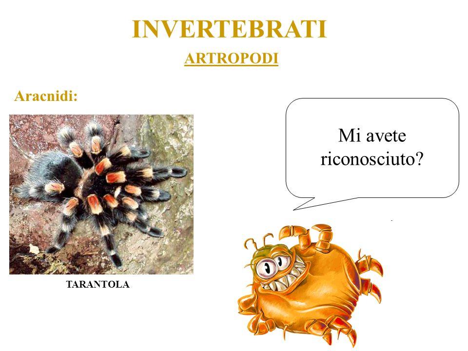 INVERTEBRATI ARTROPODI Aracnidi: Mi avete riconosciuto TARANTOLA
