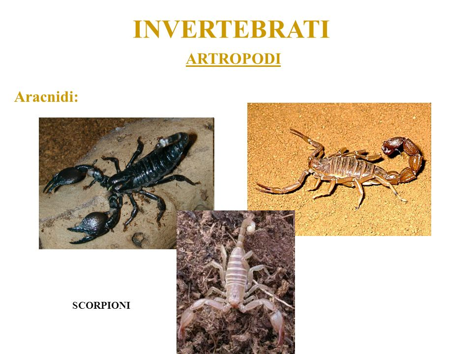 INVERTEBRATI ARTROPODI Aracnidi: SCORPIONI