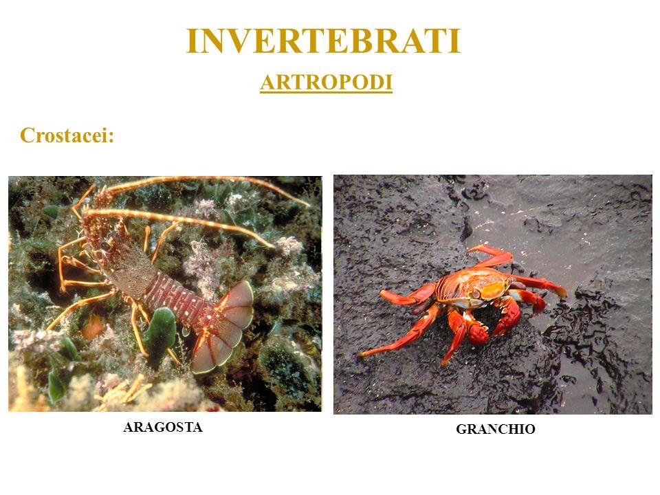 INVERTEBRATI ARTROPODI Crostacei: ARAGOSTA GRANCHIO