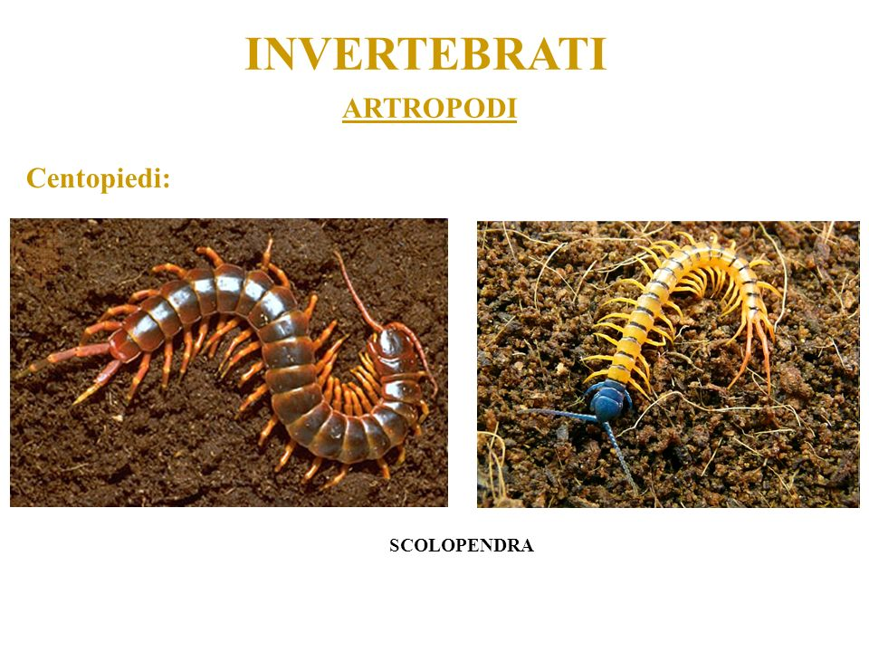 INVERTEBRATI ARTROPODI Centopiedi: SCOLOPENDRA