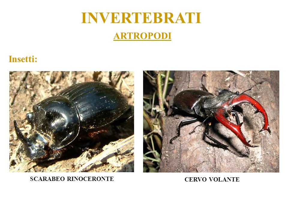 INVERTEBRATI ARTROPODI Insetti: SCARABEO RINOCERONTE CERVO VOLANTE