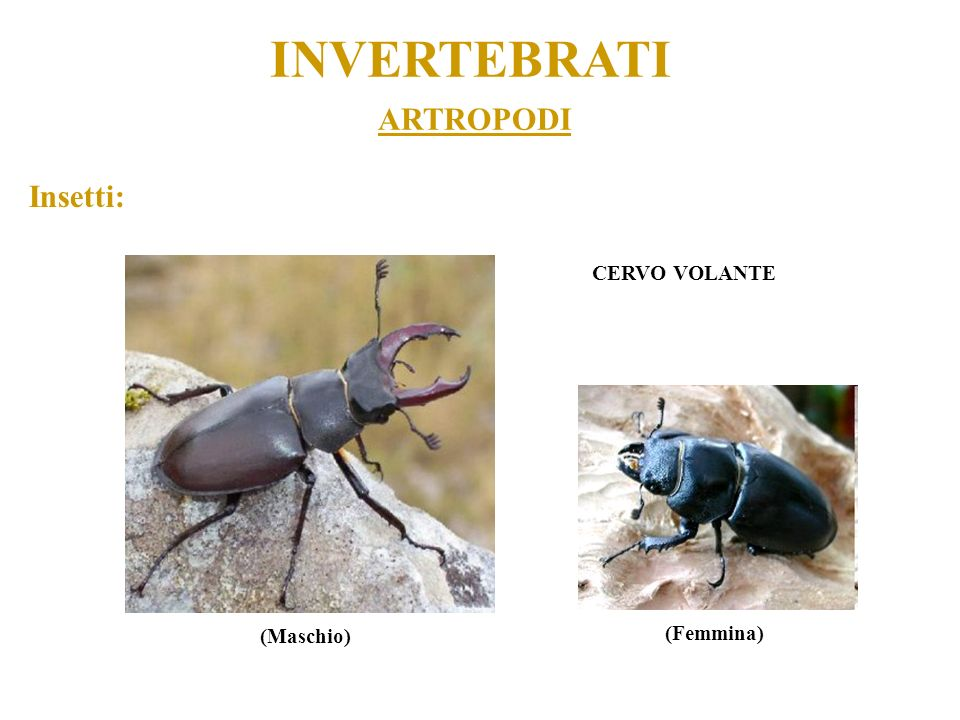 INVERTEBRATI ARTROPODI Insetti: CERVO VOLANTE (Maschio) (Femmina)