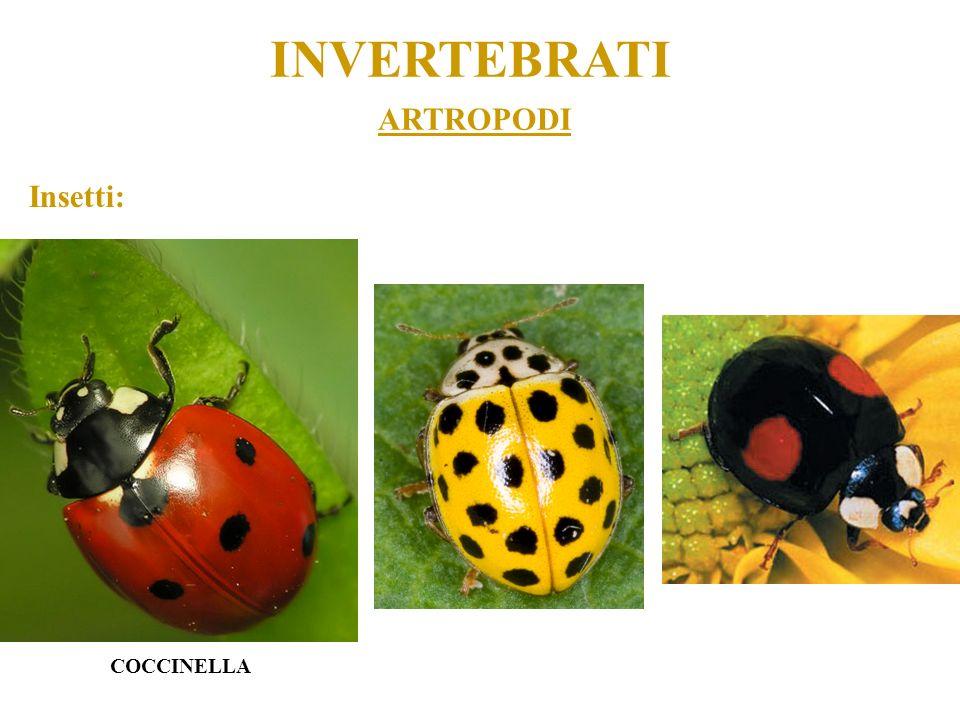 INVERTEBRATI ARTROPODI Insetti: COCCINELLA