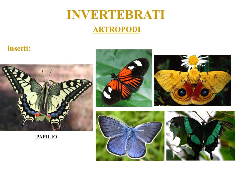 INVERTEBRATI ARTROPODI Insetti: PAPILIO