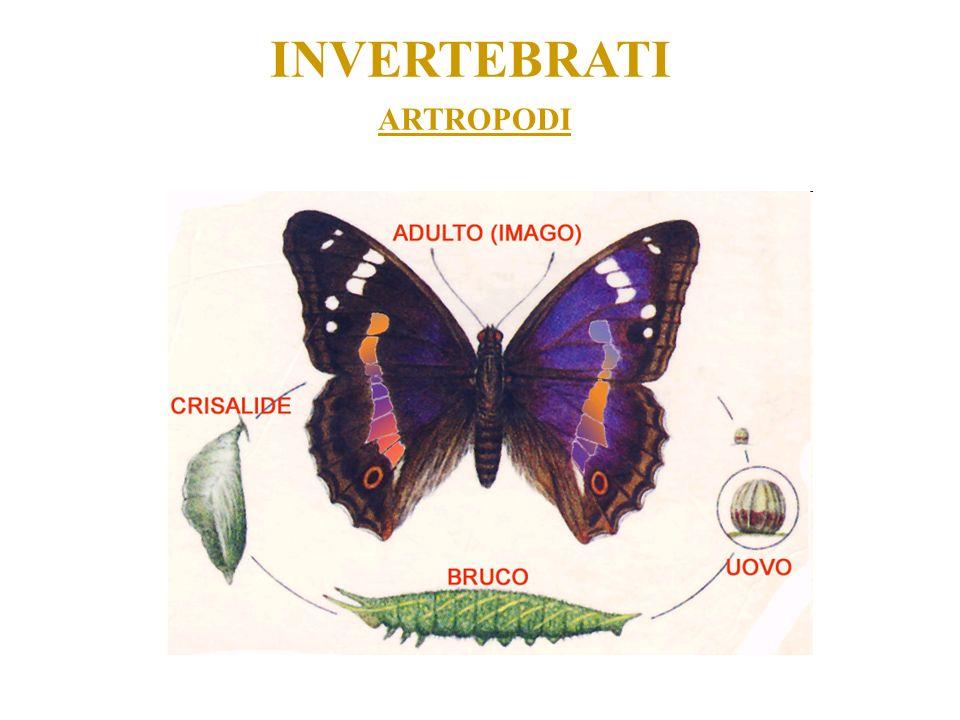 INVERTEBRATI ARTROPODI